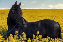Ferdinand (Michael Lumme) Tags: portrait horses horse photography pony pferde raps pferd harz friesen rapsfeld friese rapsblte pferdeportrait rapsknospe photomicha