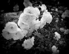 rose bianche in citt (lory6093) Tags: rose bianco citt nikond5200