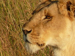 Lioness in the Mara ! (Mara 1) Tags: africa wild face outdoors kenya wildlife mara lioness masai