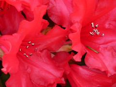 Red Azaleas ! (Mara 1) Tags: flowers red plant garden outdoors petals bush head bloom spring2016