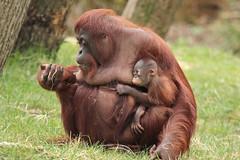 Baju and mother Wattana (K.Verhulst) Tags: ape monkeys baju apenheul apeldoorn apen orangoetan mensaap wattana