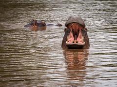 good mornig (cosmonaut576) Tags: southafrica wildlife olympus safari pro 28 krugernationalpark gamedrive hyppo 40150 8pro omdem5 olympusmzuikodigitaled40150mm128pro olympusmzuikodigitaled40150mm12