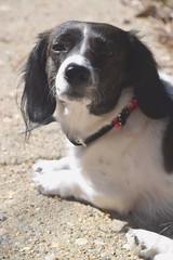Forever Doge (ashleyketchumx) Tags: dog puppy dachshund sunbathing muted petportrait nikond3300
