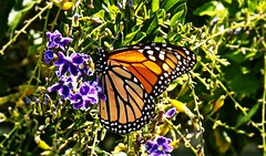 Butterfly Beauty (BlueisCoool) Tags: orange flower color nature water beautiful butterfly insect outdoors photography photo spring nikon colorful stream flickr foto bright image florida outdoor picture vivid monarch capture wildflower monarchbutterfly coolpic largoflorida butterflybeauty l330