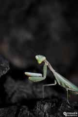 Green Praying Mantis (RuiFarinha's Photography) Tags: macro green portugal nature animal insect photography nikon prayingmantis ilovephotography naturephotography macrophotography macrolover nikond3000