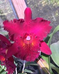 Rlc. Chia Lin 'New City' AM/AOS (F.Setembrino) Tags: orchid orquidea