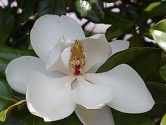 Southern Magnolia (bamboosage) Tags: lens 45 50 enlarger schneiderkreuznach componar