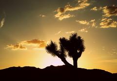 Joshua tree at sunset (Phoebus58) Tags: california sunset sky usa cloud tree desert joshuatree californie joshuanationalpark arbredejosue