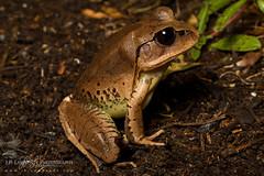 Great Barred Frog (J.P. Lawrence Photography) Tags: australia 2016 vertebrates myobatrachidae spring mixophyes fasciolatus travel amphibians anura amphibia amphibian anuran australia2016 frog frogs greatbarredfrog herp herpetology herps mixophyesfasciolatus salientia spring2016 vertebrata vertebrate