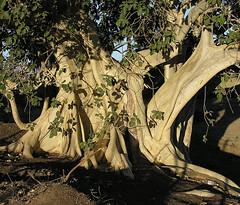 Ficus palmeri--  the Rock Fig (Dick Culbert) Tags: bajacalifornia moraceae rockfig taxonomy:family=moraceae zalate ficuspalmeri taxonomy:common=rockfig taxonomy:common=zalate geo:lat=2344 geo:long=11024 taxonomy:binomial=ficuspalmeri