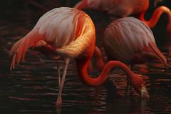 FLAMINGO FOUNTAINS (sim_limited) Tags: sunset red orange sunlight lake bird water animal contrast flamingo fountains lightanddark pentaxlife pentaxart pentaxflickraward pentaxawards