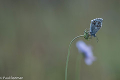 Chalkhill Blue (predman69) Tags: butterfly hatchhill scabious polden hills poldenhills poldens somerset chalkhillblue purple green environment meadow flower