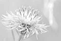 Beautiful grey [Explored 2016-08-08] (annesjoberg) Tags: flower flowersinblackandwhite hmm macromondays monochrome macro makro blomma svartvitt nikond3200 nikonphoto nikon