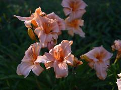 Pleasure Palace (BKHagar *Kim*) Tags: flower yard garden al lily blossom outdoor alabama lilies bloom tanner bkhagar