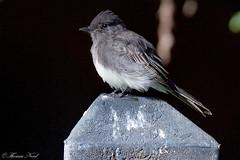 Black Poebe (Tom Nord) Tags: bird blackphoebe phoebe flycatcher naturecenter whittiernarrows