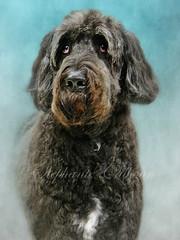 83/100 ~ Basil (Stephanie Calhoun Photography) Tags: portrait dog 8 basil noodle bigdog 100project stephaniecalhoun jaitexture newfiepoodle