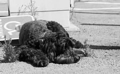 Heat Problems (UnsignedZero) Tags: animal california dog fortmason item marinadistrict neighborhood object out outdoor outdoors outside outsides sanfrancisco sunny weather