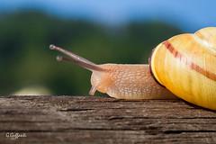 Chiocciola in corsa (JackX91) Tags: macro natura verde green erba insetti animali piccolo mondo piante lumaca snail