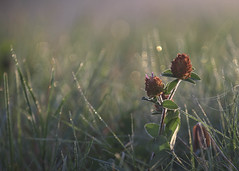 Another foggy sunrise (Jan.Timmons) Tags: fog sunrise dew clover tallgrasses bokeh selectivefocus fun webs jantimmons pacificnorthwest