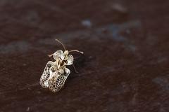 Platn csipkspoloska (Corythucha ciliata) (A piece of nature.) Tags: insect macro makr rovar csipkspoloska corythucha ciliata
