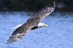 Soaring free (jrlarson67) Tags: bald eagle bird raptor birdofprey flight flying mannifrank lake water manitoba canada nikon d500