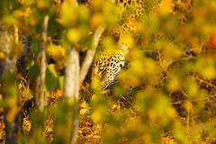 Look closely... (Quinn Chow) Tags: south africa 4on4in40 big five marathon entabeni cheetah plains kruger sabi sands savannah grasslands highveld lowveld limpopo leopard cat wild