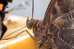K46A8148 (Yvonne23021984) Tags: schmetterling butterfly hamm germany deutschland maxipark markro photography macrophotography canon canonphotography markofotografy canoneos7dmarkii insects insekten nature naturfotografie naturephotography closeup colorkey schmetterlinge butterflies