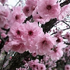 Hello Spring (missgeok) Tags: peachblossoms nature pink flowers macro pretty beautiful squareframe sydney australia spring weather