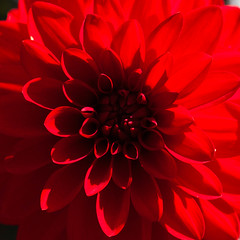 Mandala red (kristin.mockenhaupt) Tags: nature natur wiese meadow frhling sommer summer spring springtime plant flower bloom dahlia makro macro