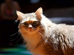 Stevie (Travis Estell) Tags: calico calicocat damestevie domesticlonghair graycat greycat stevie steviethecat