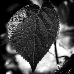 *** (pszcz9) Tags: polska poland przyroda nature natura zblienie closeup li leaf kropla raindrop bokeh beautifulearth sony a77 bw blackandwhite monochrome czarnobiae