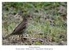 Turdus philomelos (amargolles) Tags: bird aves ave pajaro tordo tordu trush zorzal malvis paxaru