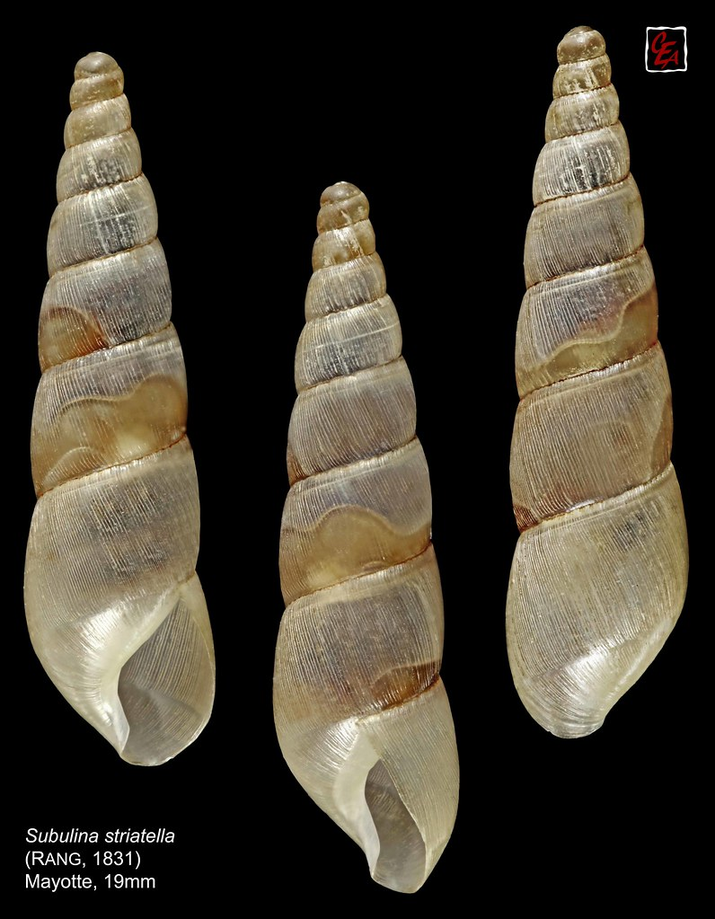 Rumina Gastropoda