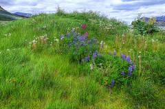 Vestfirðir, Iceland (Coldpix) Tags: flowers iceland vegetation blóm gróður thingeyri photomatixpro þingeyri summer2013 westfjordsvestfirðir