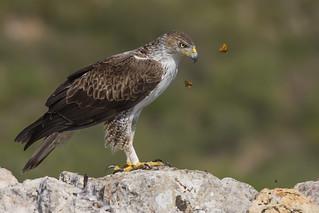 Aigle de Bonelli - Espagne 2015