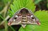 Emperor Moth (Saturnia pavonia) (Nicholas Berkley) Tags: animal bug britain moth lepidoptera british saturnia pavonia