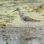 Lesser Yellowlegs - 0948 thumbnail