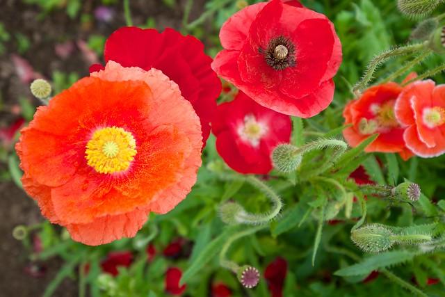 ポピーの色別花言葉5つ・ポピーの種類・西洋との花言葉の違い