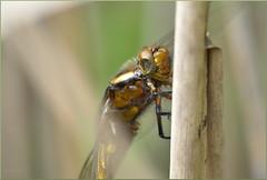 Libellula depressa ♂ (Joose SF) Tags: nature nikon suisse geneva dragonflies dragonfly wildlife sigma insects genève arthropoda insecte insectes libellule odonata libellulidae 2015 anisoptera hexapoda libellules odonate proxi odonates proxiphoto