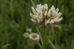 Klee/clover (Botterbloom) Tags: flowers nature deutschland natur meadow wiese blumen panasonic schleswigholstein lumixlf1