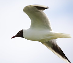 Black Headed Gull 4 20150526 (Steve TB) Tags: canon bif blackheadedgull birdinflight norfolkbroads eos7dmarkii