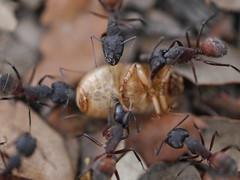 P1030928 (Dr Zoidberg) Tags: hormigas escarabajo zuiko50mmmacro