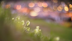 good evening, home village (dapalmerpeter (slow & low)) Tags: flower nature night canon 50mm evening spring bokeh meadow 50 f095 095 dapalmerpeter