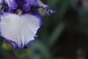 DSC00998 (Zengame) Tags: iris flower japan zeiss tokyo sony jp 日本 東京 花 rx germaniris 東京都 komagome 旧古河庭園 北区 アイリス ソニー rx1 kyufurukawagarden 駒込 ツアイス rx1r rx1rm2 rx1rmark2