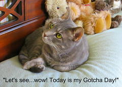 Happy Gotcha Day to Millie! (edgarandron - Busy!) Tags: cats cute cat feline tabby kitty kitties tabbies millie graytabby