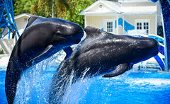 Company of Two (CetusCetus) Tags: show water animals ava orlando florida ace dolphins whale whales seaworld pilot seaworldorlando pilotwhale bluehorizons pilotwhales seaworldflorida shortfinnedpilotwhale
