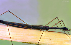 Water Strider (SequentialMacro) Tags: macro water studio francis 50mm wildlife insects micro ef strider prior