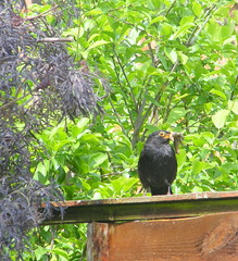 What !!  2 (carlene byland) Tags: wood trees green fence feeding busy what ourgarden blackbird slugs yuk wornout kettering beakful