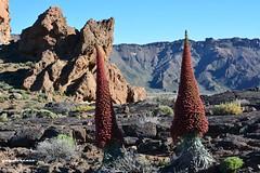 como gigantes vegetales... (yayolorenzo) Tags: rojo tajinaste