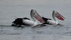 Beautiful pelicans (Merrillie) Tags: sea nature water animals fauna bay nikon scenery waterfront wildlife australia pelican views nsw brisbanewater woywoy d5500 nswcentralcoast centralcoastnsw